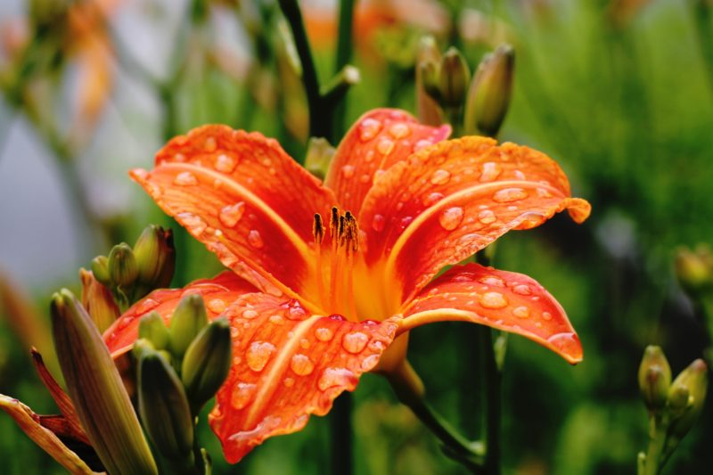 Amaryllis, Lilies,